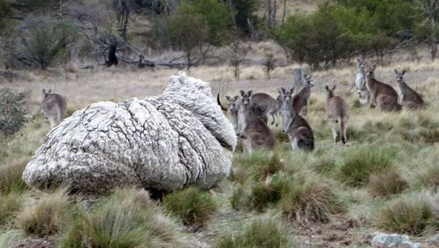 """Selbst Kängurus schienen beim Anblick von """"Chris"""" zu staunen. (Bild: RSPCA)"""