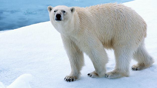 Russische Wetterforscher von Eisbären belagert (Bild: thinkstockphotos.de (Symbolbild))
