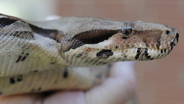 Schlangenalarm: Suche nach Königsboa in OÖ (Bild: dpa/Holger Hollemann (Symbolbild))