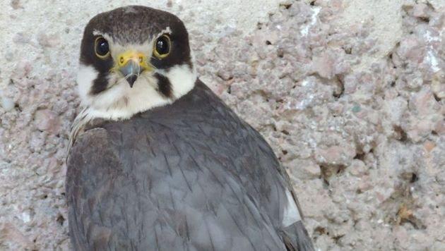 Seltener Baumfalke mit Flügelverletzung gerettet (Bild: EGS/Sigrid Frey)