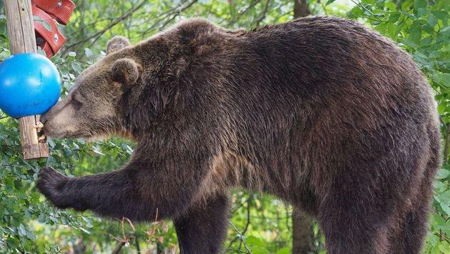 """Die """"Vier Pfoten""""-Bären müssen nun dick werden (Bild: Vier Pfoten 2015)"""
