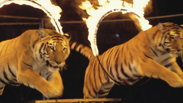 Niederlande haben Wildtiere im Zirkus verboten (Bild: thinkstockphotos.de)