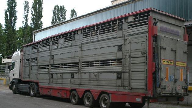 Der Amtstierarzt war fassungslos, als er in einem Tiertransporter wie diesem verletzte Rinder fand. (Bild: kba (Symbolbild))