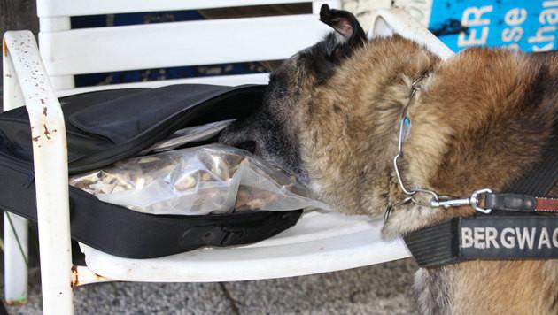 """Spürhund """"Santos"""" macht Jagd auf freche Pilzdiebe (Bild: Hannes Wallner)"""