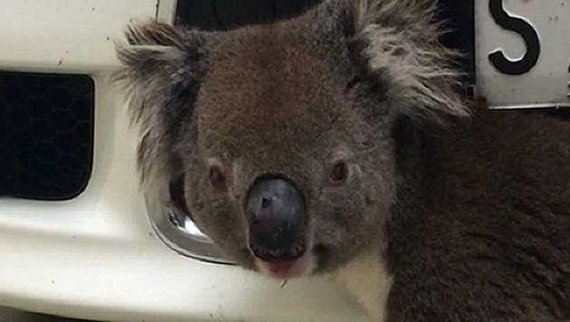 Koala überlebt 10 km Autofahrt im Kühlergrill (Bild: AFP/Joshua Hughes/Loren Davis)