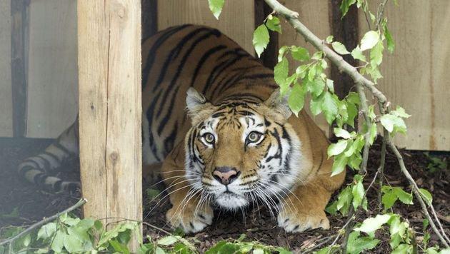 Der letzte bulgarische Zirkus-Tiger wurde befreit (Bild: Vier Pfoten/Hristo Vladev)