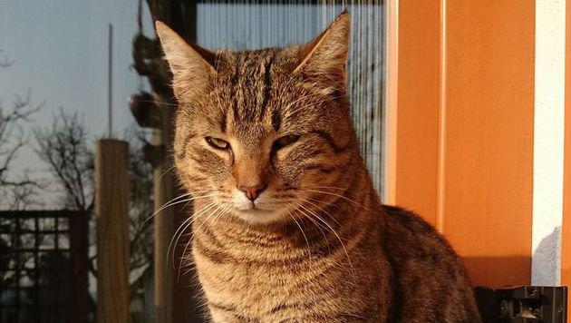 """Kater """"Niki"""" wird seit August vermisst. (Bild: privat)"""