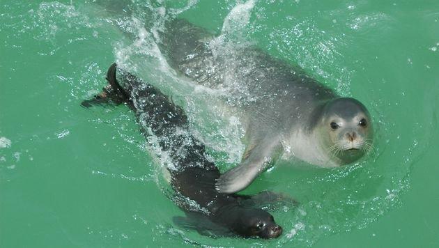 Lärmangriff auf gefährdete Robben und Wale (Bild: CBD-Habitat)
