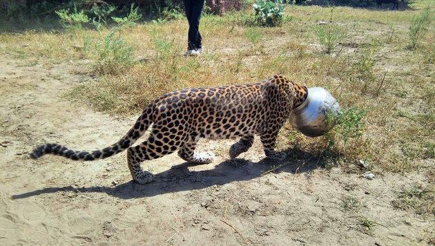 Leopard stundenlang mit Kopf in Topf gefangen (Bild: AP)
