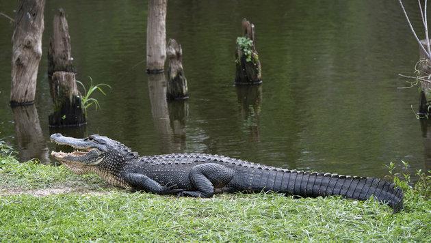 """""""Haustiere"""": Die riesigen Alligatoren in den Sümpfen (Bild: thinkstockphotos.de)"""
