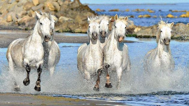 Und auch einen Abstecher zu den berühmten Pferden in die Camargue gibt es. (Bild: Fotolia)