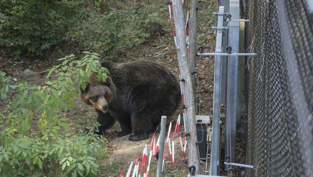 Tiere wagten erste Schritte im Bärenwald Arbesbach (Bild: Vier Pfoten/Jörg Dieckmann)