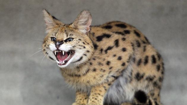 """Entlaufene """"Katze"""" doch ein waschechter Serval (Bild: DDP/AFP (Symbolbild))"""