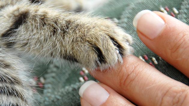 Katze in Tirol alle Krallen brutal ausgerissen (Bild: thinkstockphotos.de (Symbolbild))