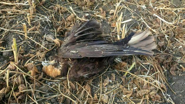 Rohrweihen-Abschuss in NÖ: Augenzeugin gesucht (Bild: APA/BIRDLIFE)