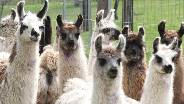 Die übrigen 60 Lamas sollen nun auf eine saubere Ersatzweide überstellt werden. (Bild: Ute Rojsek-Wiedergut)