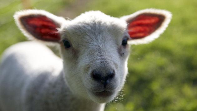 Tierarzt wegen schlampigen Kontrollen verurteilt (Bild: thinkstockphotos.de (Symbolbild))
