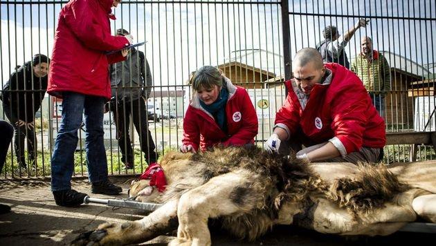 Löwen aus rumänischem Zoo zogen in Schutzzentrum (Bild: © FOUR PAWS | Bogdan Baraghin)