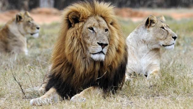 Löwen in Afrika regional vom Aussterben bedroht (Bild: APA/AFP/picturedesk.com/Daniel Garcia)