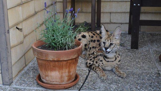 Ein Serval hat auch optisch mit einer Hauskatze wenig gemein. (Bild: Anton Rehberger)