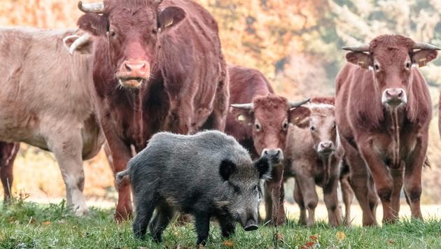 Deutschland: Rinder adoptieren junges Wildschwein (Bild: APA/AFP/MARKUS SCHOLZ)