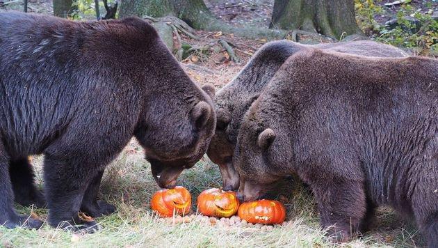 Gerettete Bären genießen erstmals das Kürbis-Fest (Bild: Vier Pfoten)