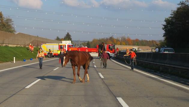 Pferd nach Unfall auf A2 gelaufen - Großeinsatz (Bild: BF Graz)