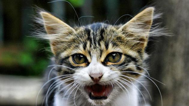 Hauskatzen würden uns fressen, wenn sie es könnten (Bild: flickr.com/Omer Unlu)