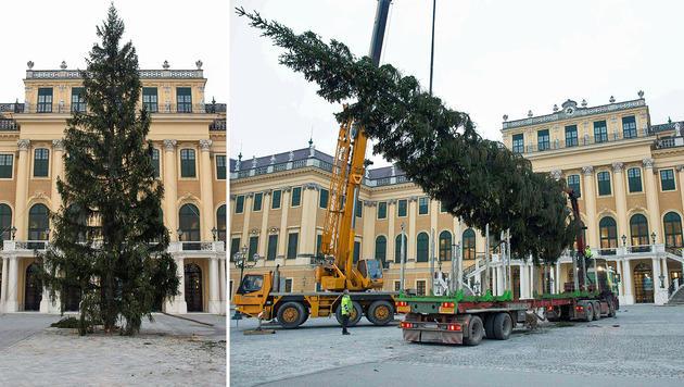 18 Meter hoher Christbaum in Schönbrunn angekommen (Bild: APA/WWW.WEIHNACHTSMARKT.CO.AT/FALLY)