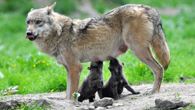 In Deutschland leben wieder Hunderte Wölfe (Bild: APA/dpa/Uwe Zucchi)