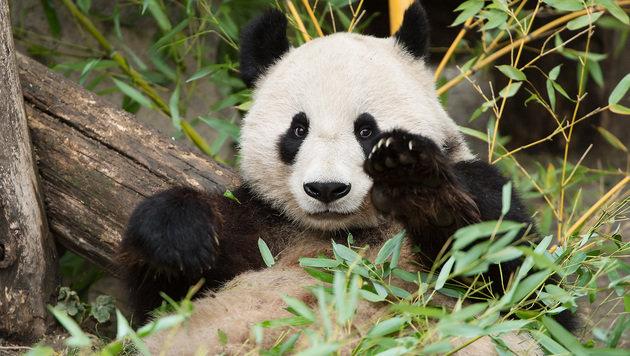 """Für """"Fu Bao"""" beginnt in China ein neues Leben. (Bild: Tiergarten Schönbrunn/Daniel Zupanc)"""
