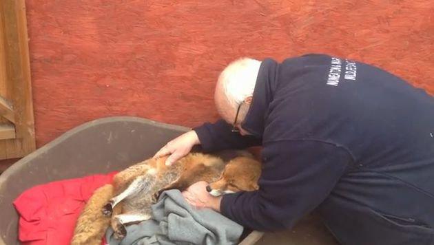 Tierheim verwechselte Füchsin monatelang mit Hund (Bild: Nuneaton and Warwickshire Wildlife Sanctuary)