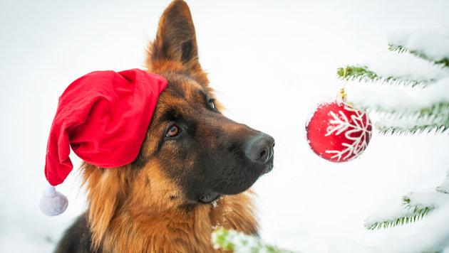 """""""Erster Hunde-Weihnachtsmarkt Wiens eröffnet! (Bild: shutterstock)"""""""