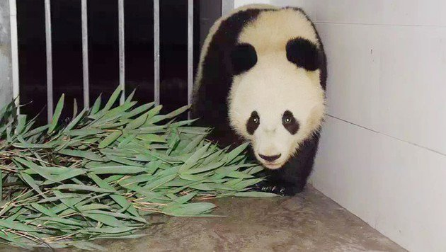 "Panda-Bub ""Fu Bao"" ist gut in China angekommen (Bild: TIERGARTEN SCHÖNBRUNN/XINHUA)"