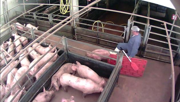 Ein Arbeiter tritt ein Schwein - Infos: www.vgt.at (Bild: VGT)