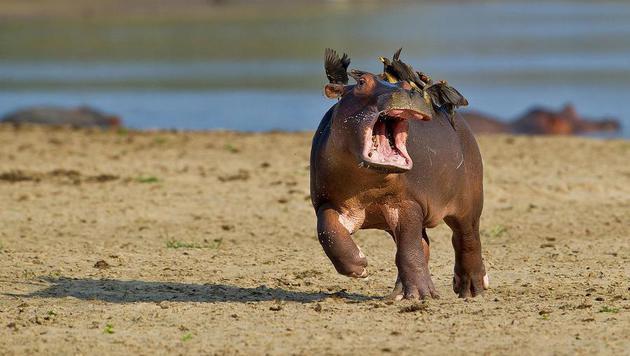 Das sind die witzigsten Tierfotos des Jahres (Bild: Marc Mol/Comedy Wildlife Photography Awards)