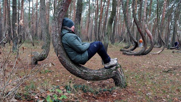 Durch ihre deutliche Krümmung laden die Bäume auch zum mehr oder weniger bequemen Verweilen ein. (Bild: APA/EPA/MARCIN BIELECKI)