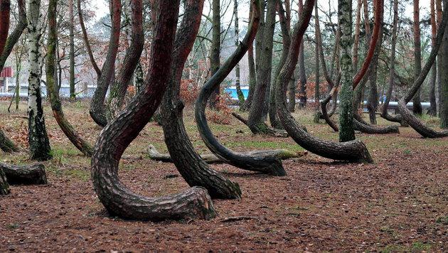 Krumme Kiefern in Polen: Viele Theorien zu Ursache (Bild: APA/EPA/MARCIN BIELECKI)