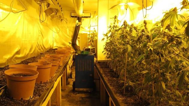 734 Cannabispflanzen wurden in der Wohnung entdeckt. (Bild: APA/LPD WIEN)