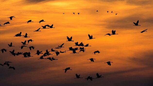 Zugvögel vom Klimawandel bereits stark bedroht (Bild: APA/dpa/Jens Büttner)