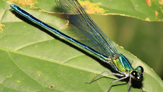 Die Libellen-Art Umma gumma (Bild: Naturalis Biodiversity Center/Jens Kipping)