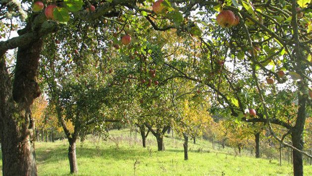 Ein Apfelbaum als Weihnachtsgeschenk (Bild: kleine Stadt Farm)