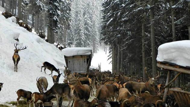 In Thumersbach kann man bei einer Tierfütterung dabei sein und Rotwild bewundern. (Bild: Andrea Thomas)