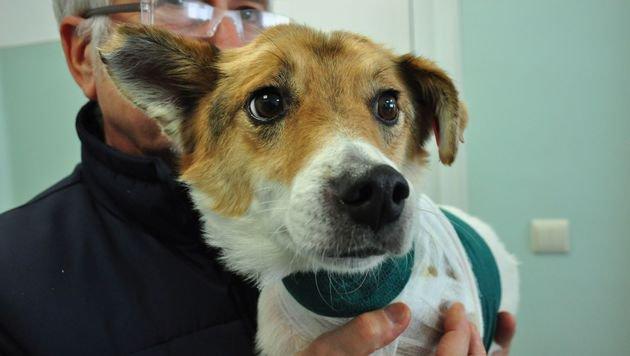 Streunerhund erhielt neuartige Hauttransplantation (Bild: Vier Pfoten/Hristo Vladev)