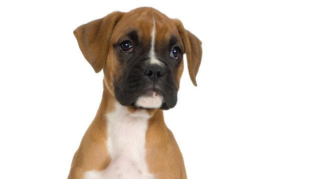 Tierfreunde sorgen sich um Welpen von Bettlern (Bild: Photos.com/Getty Images (Symbolbild))