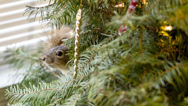 Eichhörnchen lebt im Christbaum seiner Retter (Bild: reddit.com/carefree_dude)