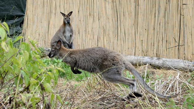"""Die beiden Kängurus """"Charly"""" (rechts) und """"Joey"""" gingen auf Entdeckungstour. (Bild: APA/HERMANN SOBE)"""