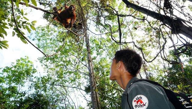 """Orang-Utan-Baby """"Saragih"""" entwickelt sich prächtig (Bild: Vier Pfoten/Adzwari Ridzki)"""