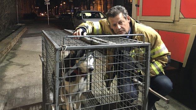 """Die Feuerwehr musste Husky """"Niko"""" holen. Jetzt ist er wieder bei seiner Familie. (Bild: Thomas Reiter)"""