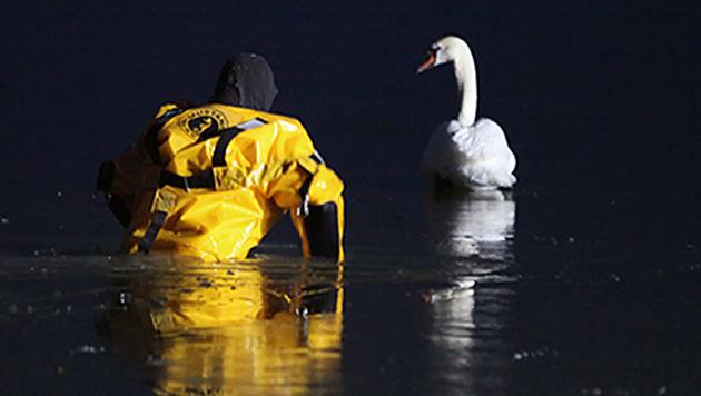 Der im Eis eingeschlossene Schwan befand sich in einer aussichtslosen Lage. (Bild: APA/WOLFGANG PRUMMER)